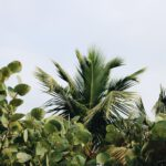 Creëer je tropische tuin, kies in aanbieding een olijfboom